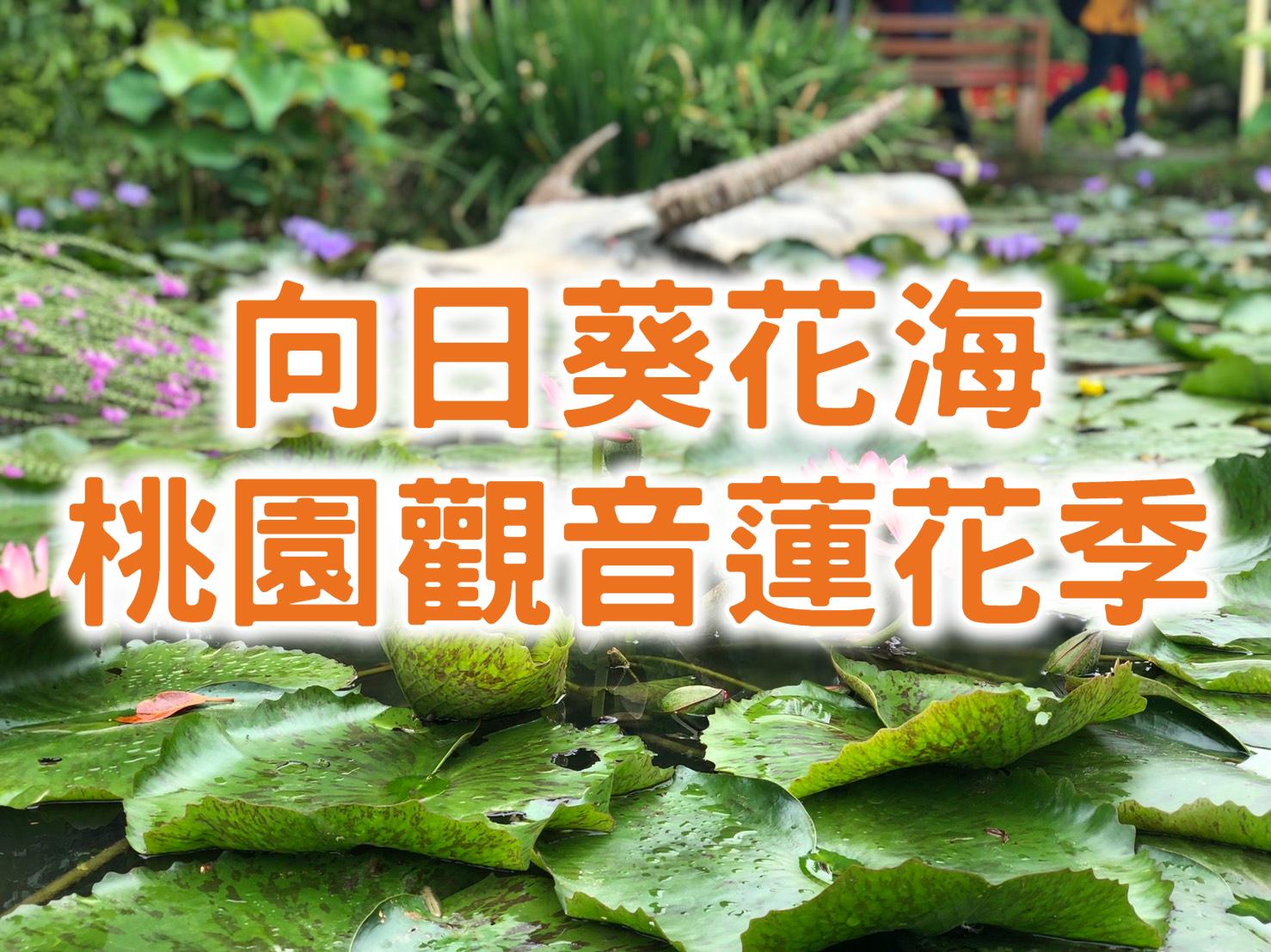 🌻【2021桃園蓮花季】夏季限定向日葵&蓮花 桃園觀音一日遊(TYU03)