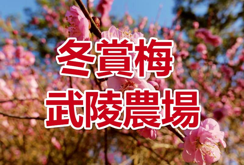 【冬賞梅】梅開眼笑 武陵農場尋梅一日(TCH06)