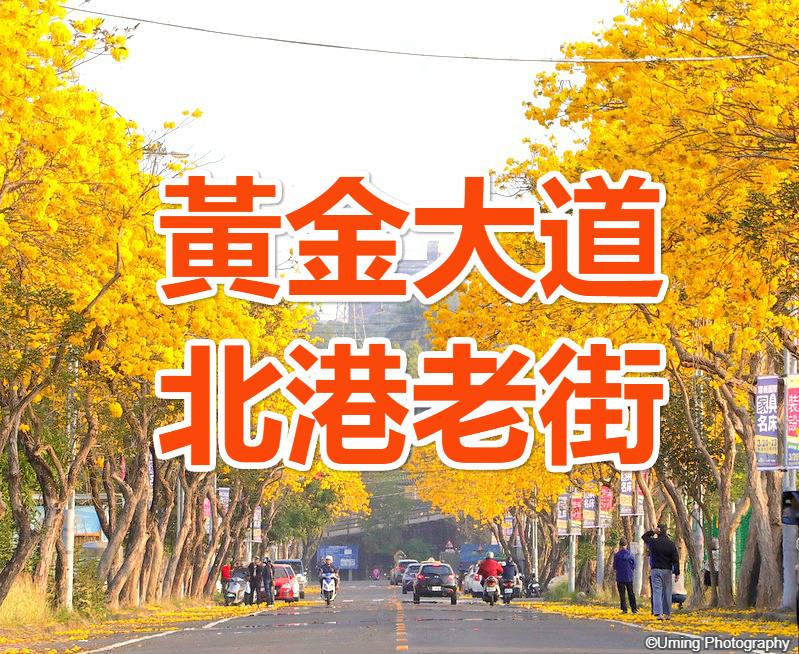 🌼【黃金風鈴木】春滿金來好港動 嘉義黃金大道雲林北港一日(CHY18)
