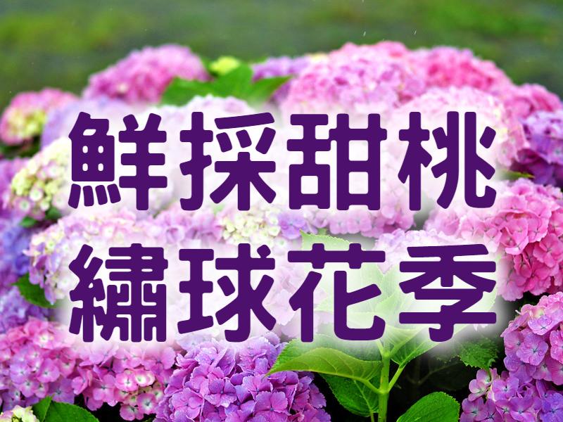 🍑【繡球花&甜桃】繡好桃香甜蜜蜜 苗栗台中花香一日遊 (MAL16)